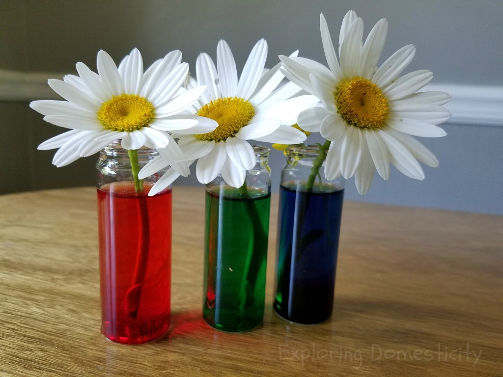 Color Changing Daisies science activity for kids